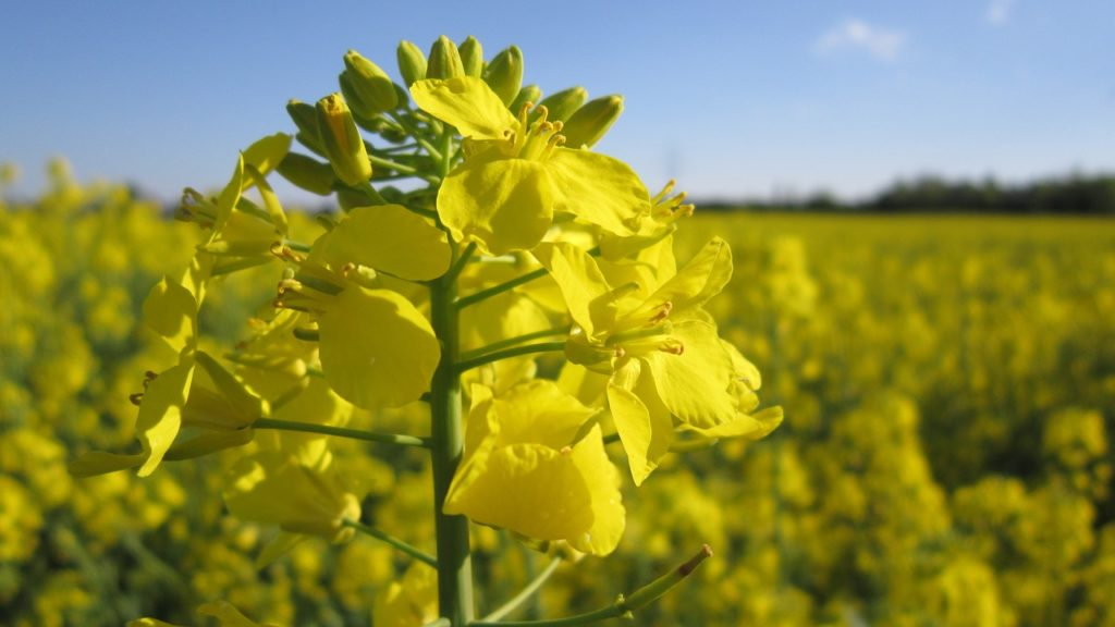 oilseed-rape-1361954_1280